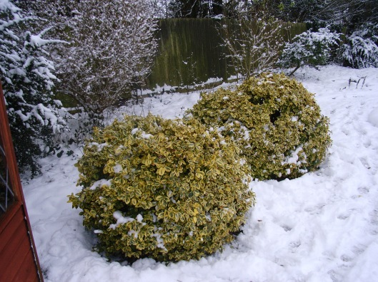 Euonymus 'Emerald and Gold'