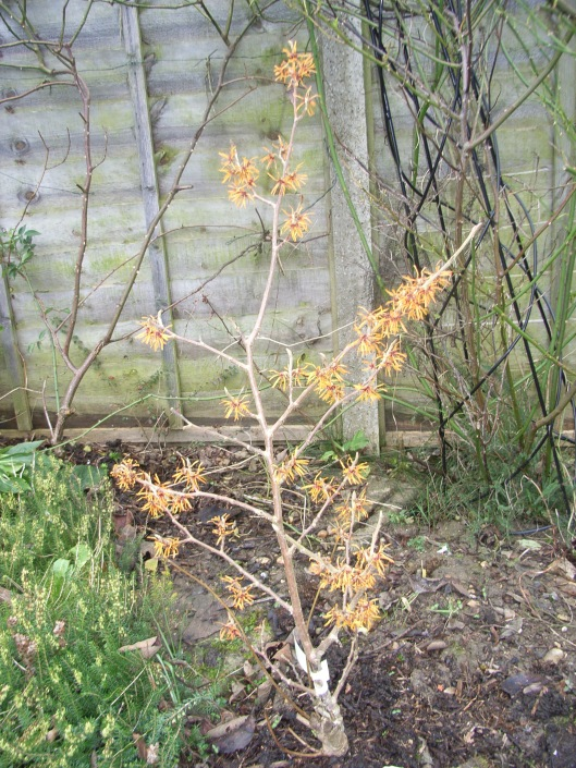 Witch hazel 'Orange Peel'